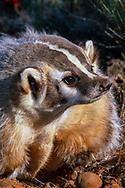 Badger portrait, [captive, controlled conditions] © David A. Ponton