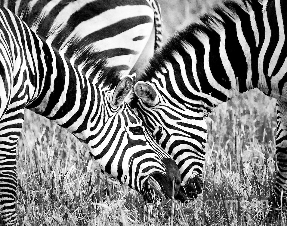 """Playful zebra in Amboseli, Kenya.<br /> <br /> *For all details about sizes, paper and pricing starting at $85, click """"Add to Cart"""" below."""