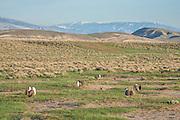 Sage Grouse lek in Northwest Wyoming during spring breeding season