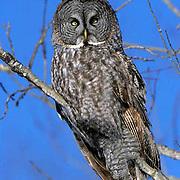 Great Gray Owl, (Strix nebulosa) Adult. Manitoba, Canada.