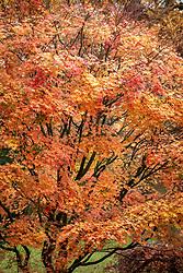 Acer palmatum 'Deshojo' - Corallinum Group - Japanese maple