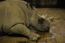 "In December of 2009, the Lewa Conservancy in Kenya airlifted the last four breeding age Northern White Rhinos from Prague's Dvur Kralove Zoo in the Czech Republic 4000 miles away to live ""freely"" at the Ol Pejeta Conservancy in Kenya. The Northern White Rhino is considered by scientists to be nearly extinct. As of 2009, there are only 8 Northern White Rhinos living in the world. Scientists hope that in Africa, the temperance in climate and the room to roam will entice them to breed and establish a nucleus for potential re-population. (Photo by Ami Vitale)"
