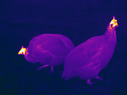 Thermogram of Guineafowl.  The different colors represent different temperatures on the object. The lightest colors are the hottest temperatures, while the darker colors represent a cooler temperature.  Thermography uses special cameras that can detect light in the far-infrared range of the electromagnetic spectrum (900?14,000 nanometers or 0.9?14 µm) and creates an  image of the objects temperature..
