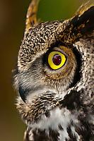 Great horned owl (Bubo virginianus), Deer Mountain Tribal Hatchery and Eagle Center, Ketchikan, Alaska USA