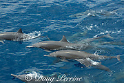 eastern spinner dolphin, Stenella longirostris orientalis, exhaling while surfacing, offshore from southern Costa Rica, Central America ( Eastern Pacific Ocean ); note dolphin in center is missing dorsal fin
