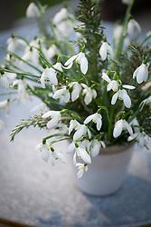 Arrangement of snowdrops in pot. Galanthus nivalis