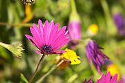 Violet and yellow flowers in the garden Clos des Iles Le Brusc Six Fours Cote d'Azur Var France