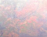 Autumn Maple Tree in Fog, Blue Ridge Parkway, NC