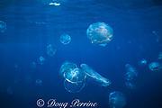 moon jellyfish or sea jellies,<br /> Aurelia aurita, <br /> Bahamas ( Western Atlantic Ocean )
