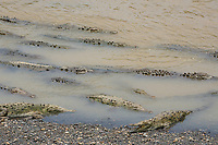 American Crocodiles, Crocodylus acutus, resting in shallow water at the edge of the Tarcoles River, Costa Rica. Listed as Vulnerable in the IUCN Red List of Threatened Species.