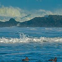 Surf Scoter Ducks (Melanitta perspicillata) float in Pacific Ocean waves near Pescadero, California.