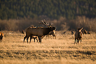 © 2007 Randy Vanderveen, all rights reserved.Waterton Lakes National Park, Alberta.Elk (Wapiti)