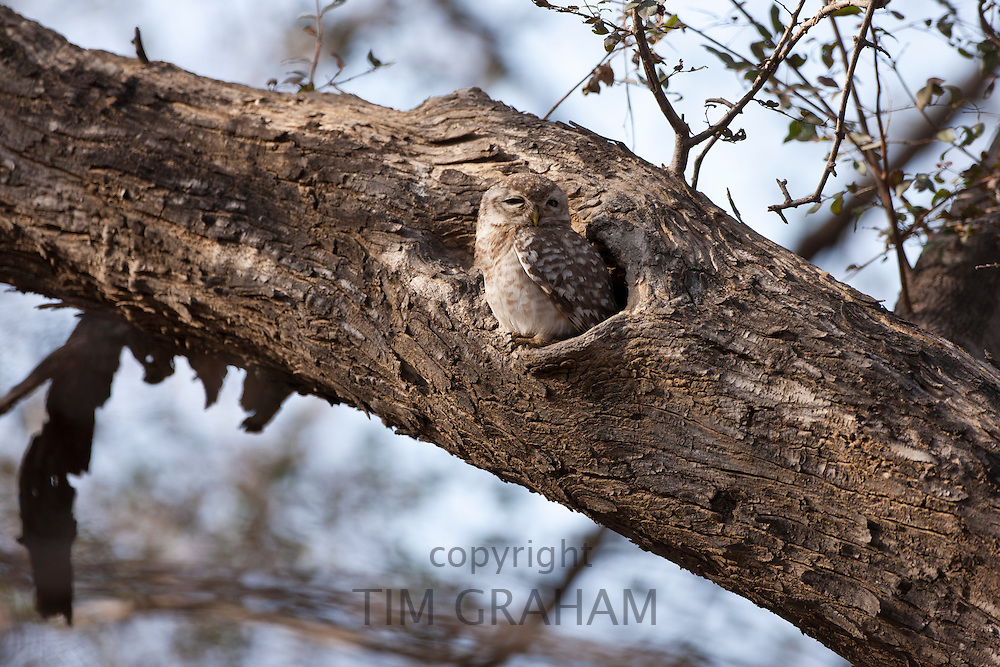 Spotted Owlet bird, Athene brama, in Ranthambhore National Park, Rajasthan, Northern India