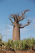 A Baobab tree at Amboasary Sud, near the Berenty Reserve, Madagascar