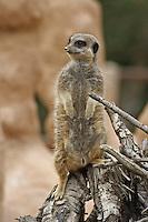 Wildlife photography, meerkats