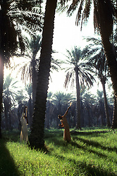 Saudi Arabian boys using slingshot to knock loose dates in a date palm plantation in the Eastern Province of Saudi Arabia.