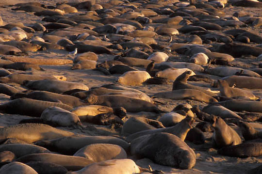 Northern Elephant Seal, (Mirounga angustirostris)Rookery. California.