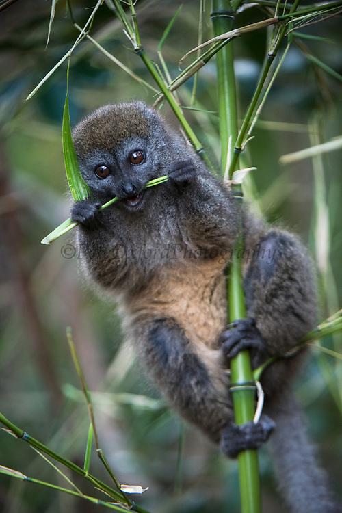Eastern lesser bamboo lemur (Hapalemur griseus)<br /> East Madagascar<br /> Mantadia National Park<br /> MADAGASCAR<br /> ENDEMIC<br /> Semi captive