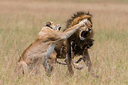 A radio collared lioness, Panthera leo, fighing off the male after mating.