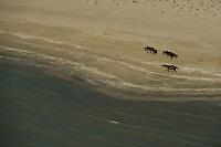 Wild horses, aerials over the Danube delta rewilding area, Romania