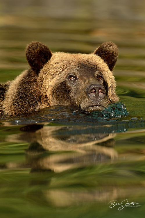 Grizzly bear (Ursus arctos)- Hunting sockeye salmon in a salmon river, Chilcotin Wilderness, BC Interior, Canada