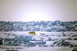 Polar Bear & Two Cubs