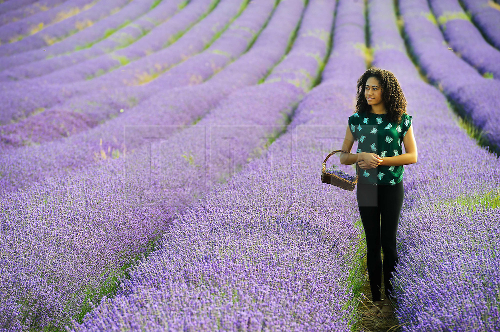 © Licensed to London News Pictures. 26/07/2013 Hitchin, UK. Bethany Joseph, 19 walks through the fields of Lavendar at Hitchin Lavendar, Cadwell Farm, Hitchin, Hertfordshire. The Lavendar, now in full bloom, has been farmed at Cadwell for more than one hundred years and for five generation, farming over 12 acres of lavender or 17 miles of rows. In the past the small market town of Hitchin was one of only two major Lavender growing areas in the country.  At its height in the nineteenth century a hundred acres were grown around the town and it soon became renowned nationally. Each lavender field could continually produce abundant crops for five years before being uprooted and burned, providing a fragrant and captivating aroma that blew across the whole town.<br /> Photo credit : Simon Jacobs/LNP