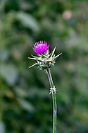 A Milk Thistle flower in a herb garden in the Fraser Valley of British Columbia, Canada