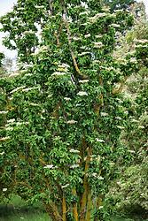 Sambucus nigra 'Pyramidalis' - showing fastigiate column habit. Elder