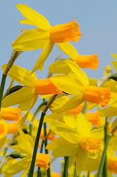 Noordwijk, Zuid Holland, Netherlands, bollenvelden, flowerbulb fields