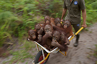 Juvenile orangutans are transported by wheelbarrow at IAR <br />
