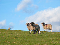 3 sheep in a field