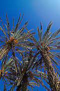 Israel, A palm tree Phoenix dactylifera plantation with ripe dates, looking up on a dark blue sky background