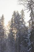 Soft look through falling snow on spruce (Picea abies) stand with sun shining through on snowy winter day, Kemeri National Park (Ķemeru Nacionālais parks), Latvia Ⓒ Davis Ulands   davisulands.comSoft