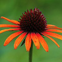 Flower photography of a beautiful orange blooming coneflower photographed in The Garden at Elm Bank in Wellesley, MA. <br /> Coneflowers photos are available as museum quality photography prints, canvas prints, acrylic prints or metal prints. Flower fine art prints may be framed and matted to the individual liking and decorating needs.<br /> <br /> https://juergen-roth.pixels.com/featured/orange-coneflower-juergen-roth.html<br /> <br /> All coneflower floral photo images are available for digital and print use at www.RothGalleries.com. Please contact me direct with any questions or request. <br /> <br /> Good light and happy photo making!<br /> <br /> My best,<br /> <br /> Juergen<br /> Image Licensing: http://www.RothGalleries.com <br /> Fine Art Prints: http://juergen-roth.pixels.com<br /> Photo Blog: http://whereintheworldisjuergen.blogspot.com<br /> Twitter: https://twitter.com/naturefineart<br /> Facebook: https://www.facebook.com/naturefineart <br /> Instagram: https://www.instagram.com/rothgalleries