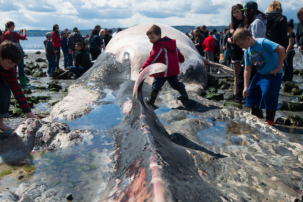 Crowds surround the remains of an endangered fin whale (Balaenoptera physalus) on the beach at Seahurst Park in Burien, Washington, USA. According to Cascadia Research, the whale was killed by a strike from a large ship. Fin whales are the second largest animals on the planet, and seldom make their way into Puget Sound. 52 feet of the whale remained intact, while scientists estimate the leviathan was over 65 feet long before its demise. Photo by William Drumm, 2013.