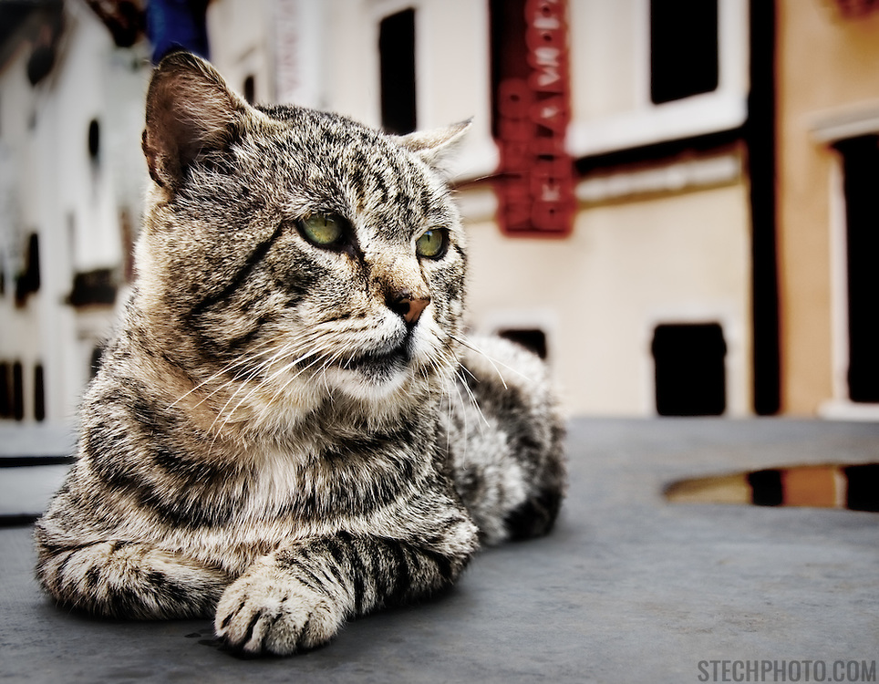 A black and white striped cat sitting and watching something in the middle of a town street in Gorizia, Italy.