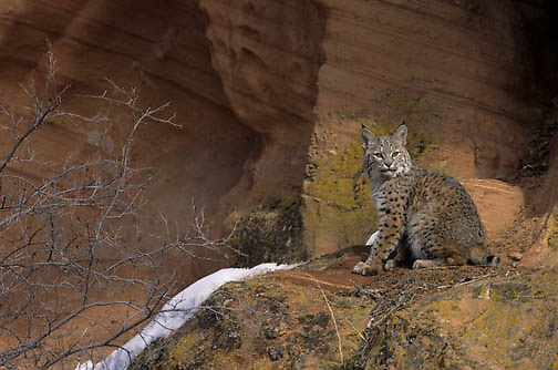 Bobcat, (Lynx rufus) In red rock country of Utah.  Captive Animal.