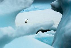 Gentoo Penguin (pygoscelis papua)  in Anarctica