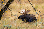 A big bull moose was chilling in the grass on the south side of the park.