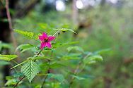A Salmonberry flower (Rubus spectabilis) at Campbell Valley Park in Langley, British Columbia, Canada