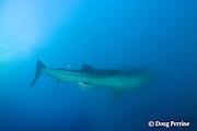 whale shark, Rhincodon typus, swims into spawn cloud released by cubera snappers, Lutjanus cyanopterus to filter feed on fish eggs, Gladden Spit & Silk Cayes Marine Reserve, off Placencia, Belize, Central America ( Caribbean Sea )