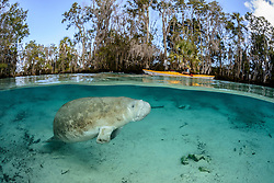 Trichechus manatus latirostris, Halb Halb Aufnahme einer Florida Seekuh, Nagel oder Karibik Manati, splitleve picture of a West Indian manatee, Sea Cow, Three Sisters, Kings Bay, Crystal River, Citrus County, Florida, United States, USA, Februar 2014