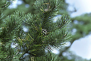 Bosnian Pine Pinus heldriechii (leucodermis) (Pinaceae) HEIGHT to 30m <br /> Broadly pyramidal tree with a tapering bole. BARK Grey, with irregular plates. Whitish patches appear with age. LEAVES Paired needles, to 9cm long, densely packed on shoots, stiff and projecting at right-angles, pungent. REPRODUCTIVE PARTS Cones, to 8cm long and 2.5cm across, narrowly ovoid and ripening to brown; scales have a recurved prickle. Second-year cones are deep blue. STATUS AND DISTRIBUTION Native of Balkans and SW Italy, mainly on dry mountain limestone. Planted here for ornament, thriving on free-draining soils.