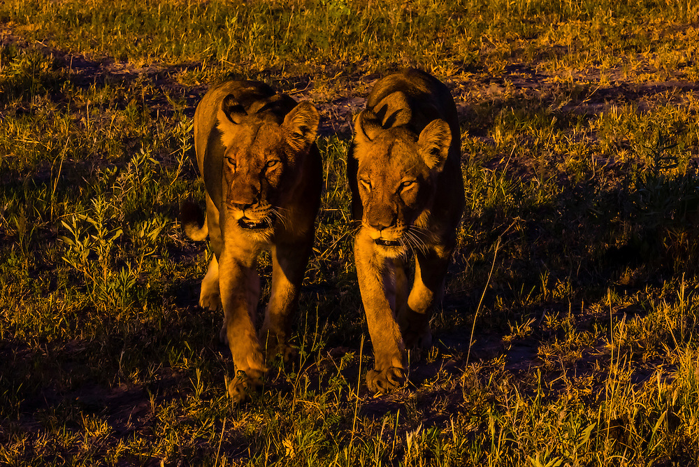 Female lions walking in the bush, Kwando Concession, Linyanti Marshes, Botswana.