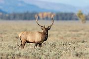 Elk duriing the autumn rut in Wyoming