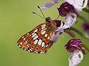Duke of Burgundy butterfly (Hamearis lucina), resting on Lady Orchid (Orchis purpurea) Bonsai Bank, Denge Woodlands, Kent UK, stacked focus image