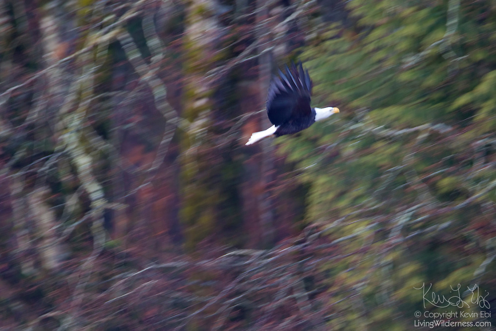 An adult bald eagle (Haliaeetus leucocephalus) flies through the forest at the Brackendale Eagles Provincial Park in Brackendale, British Columbia, Canada.