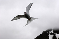 Arctic Terns are medium-sized birds. They have a length of 33-39 cm (13-15 in) and a wingspan of 76-85 cm (26-30 in). They are mainly grey and white plumaged, with a red beak (as long as the head, straight, with pronounced gonys) and feet, white forehead, a black nape and crown (streaked white), and white cheeks. The grey mantle is 305 mm, and the scapulars are fringed brown, some tipped white. The upper wing is grey with a white leading edge, and the collar is completely white, as is the rump. The deeply forked tail is whitish, with grey outer webs. The hindcrown to the ear-coverts is black.....Arctic Terns are long-lived birds, with many reaching thirty years of age. They eat mainly fish and small marine invertebrates. The species is abundant, with an estimated one million individuals. While the trend in the number of individuals in the species as a whole is not known, exploitation in the past has reduced this bird's numbers in the southern reaches of its range.....