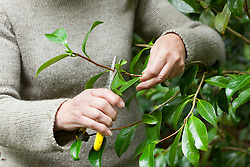 Taking leaf bud cuttings from a camellia. Selecting suitable material